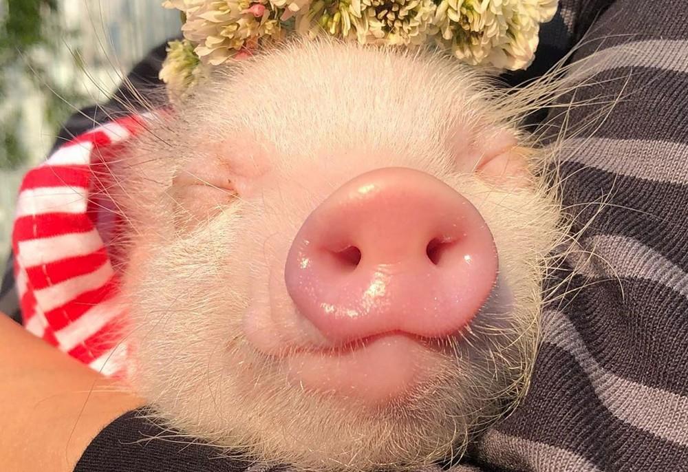 Comment Adopter Un Cochon Nain Sanslaisse Com
